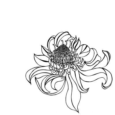 waratah sketch